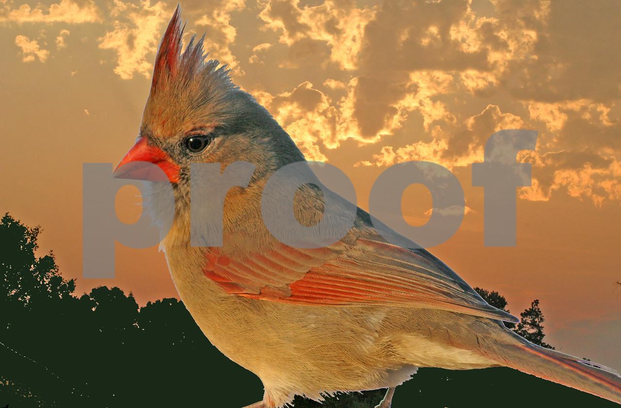 Female Cardinal at Sunrise