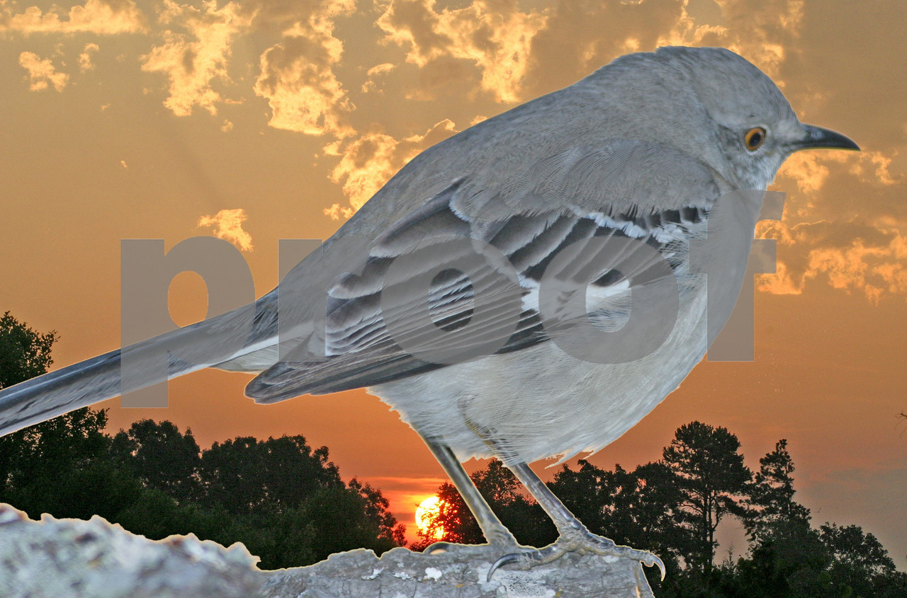 Mockingbird at Sunrise