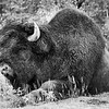 Same big bison, just in black and white - Canada