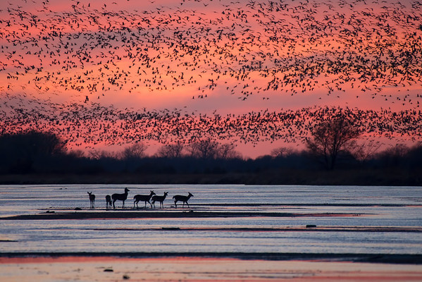 Deer and cranes #2
