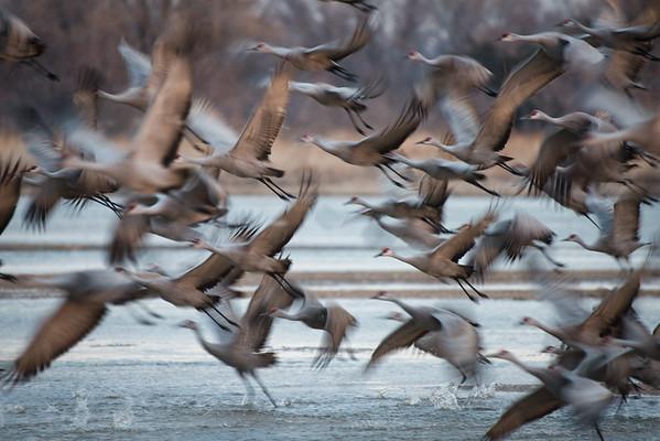Cranes taking flight