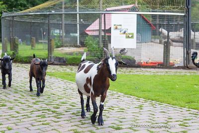 nederland 2017, groningen, stadspark, kinderboerderij, geiten