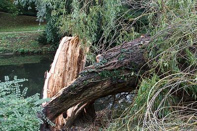 nederland 2013, groningen, grachtstraat, omvallende boom