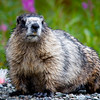 Marmot at Hatcher Pass, Alaska.
