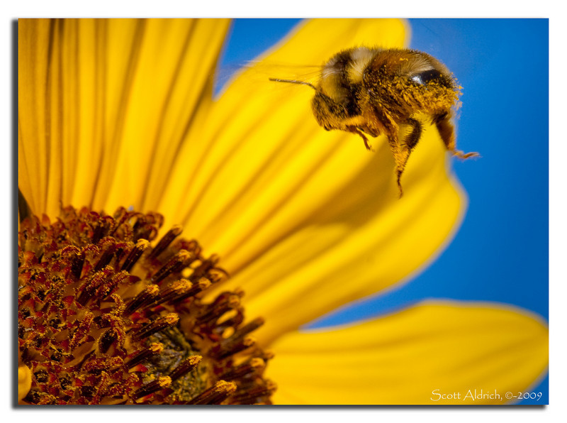 Bee and Sunflower. Dang...