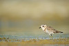 Double-banded Plover (juvenile)