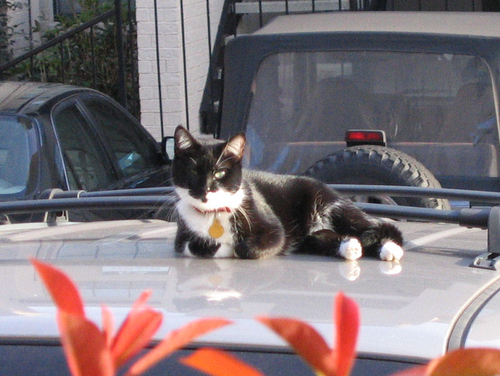 A black and white cat lying atop a car (138_3841)