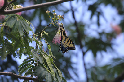 tiger swallowtails love the mimosa blossoms