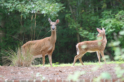 Doe and fawn on Pine Needle Court