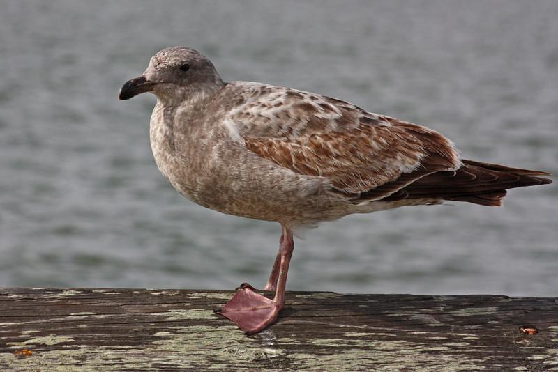 Juvenile gull