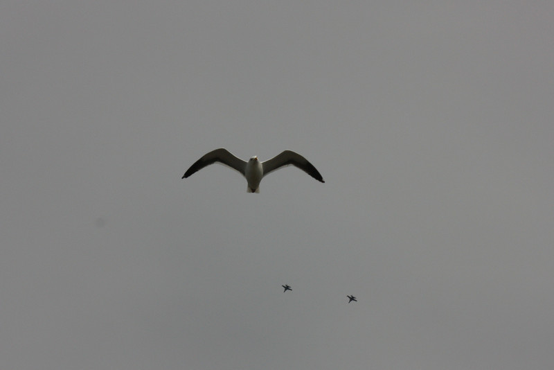 Probably a Western gull - plus a couple of fighter jets