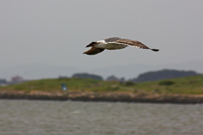 Probably a Western gull
