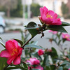 Camellias, front yard