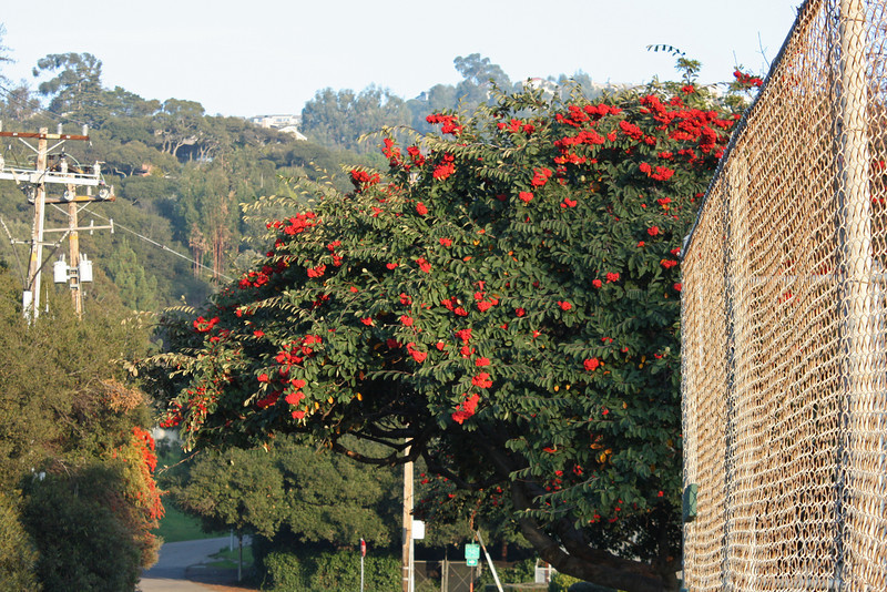 Toyon by the sports field