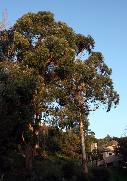 Eucalyptus at sunset