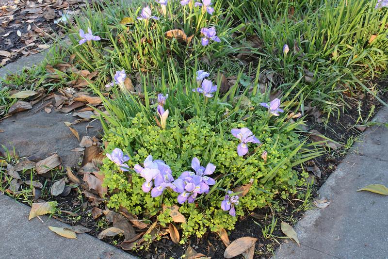 Algerian iris, front yard