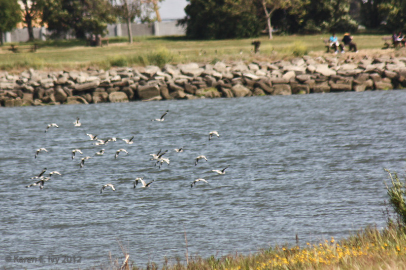 Long-billed dowitchers and willets