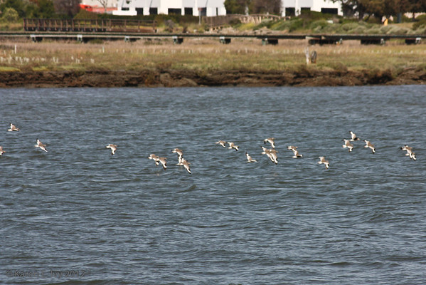 Shorebirds taking off