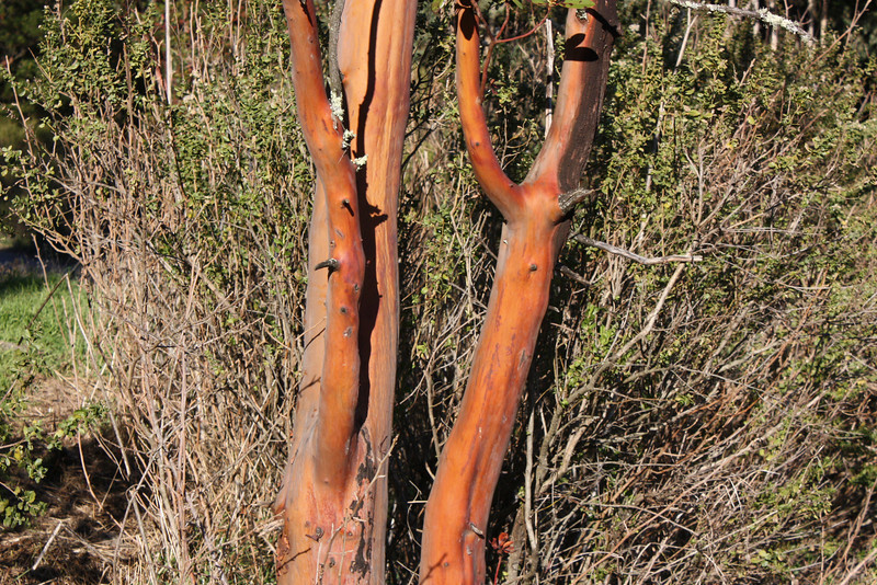 Madrone bark, late afternoon