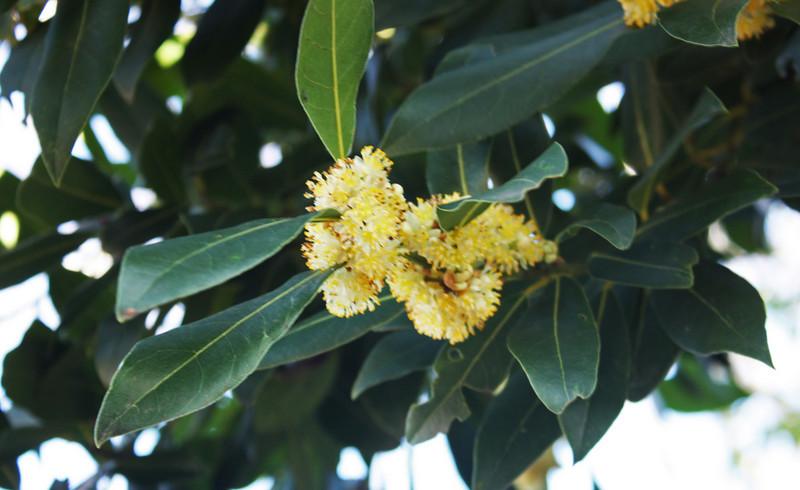 Bay tree in bloom