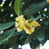 Bay tree in bloom