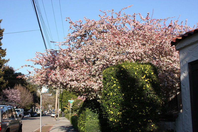 Blooming tree, Chabot Road