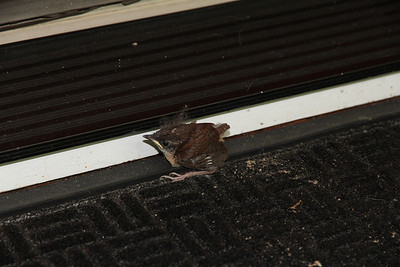 sparrow fledgling #1