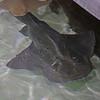 Guitar fish and ray