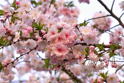 Spring Blossoms 2007