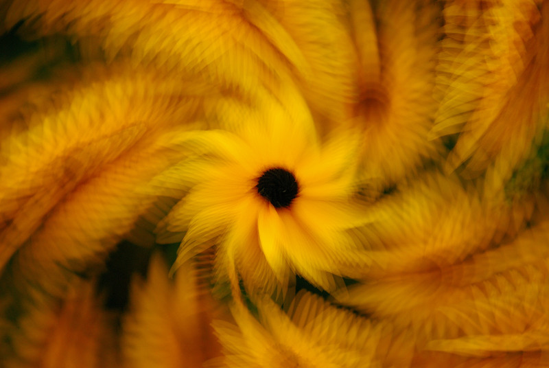 Black-eyed Susan - 10 shots in multiple exposure