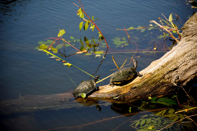 Turtles viewed from Peggy Notebaert Nature Museum in Chicago's Lincoln Park