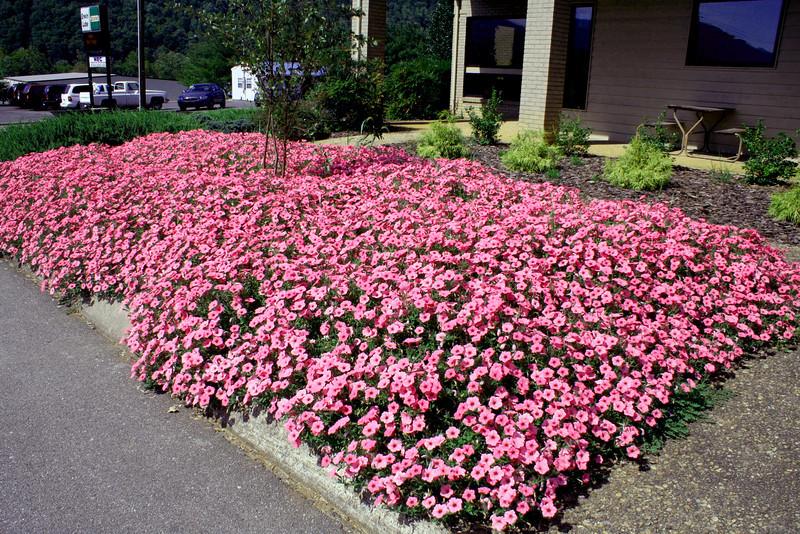 hoskins flowers2