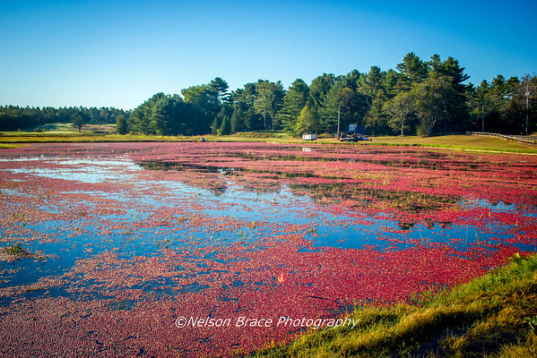20160926b -Cranberry Pickin' Time