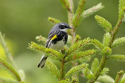 Yellow-rumped warbler (Setophaga coronata)