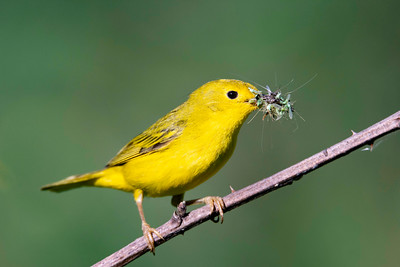Yellow warbler ( Setophaga petechia ) female with bill full of insects in spring