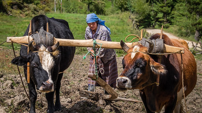 A beautiful woman who let us try our hand at plowing her field behind to oxen.  The wooden plough easily weighed 100 plus pounds.