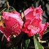 Rhododendron. Van Puyan naar Pangkongma 2850m