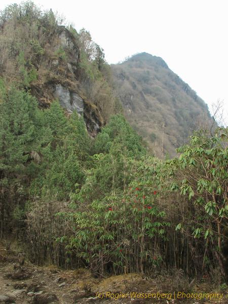 Rhododendron habitat, dicht bij Chalem Kharka 3450m