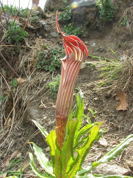 Arisaema nepenthoides,  Lukla - Puyan