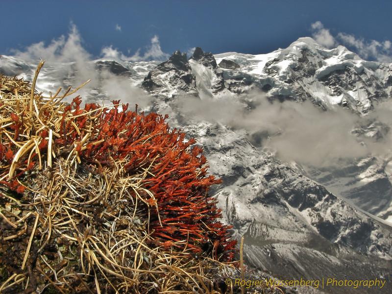 Rhodiola tibetica, bij kamp Khare >5000m