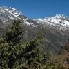 Juniperus recurva