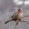 Carpodacus species