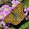 vlinder Phalanta phalantha, Leopard