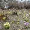 habitat van Primula calderana