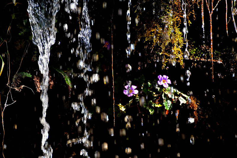 Waterfalls and primulas near Deorali