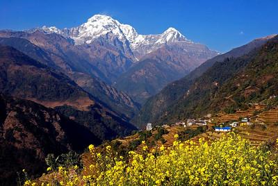 Annapurna South and Huinchuli as seen  from the mustard fields of Landrung- Annapurna Base Camp trek Nepal