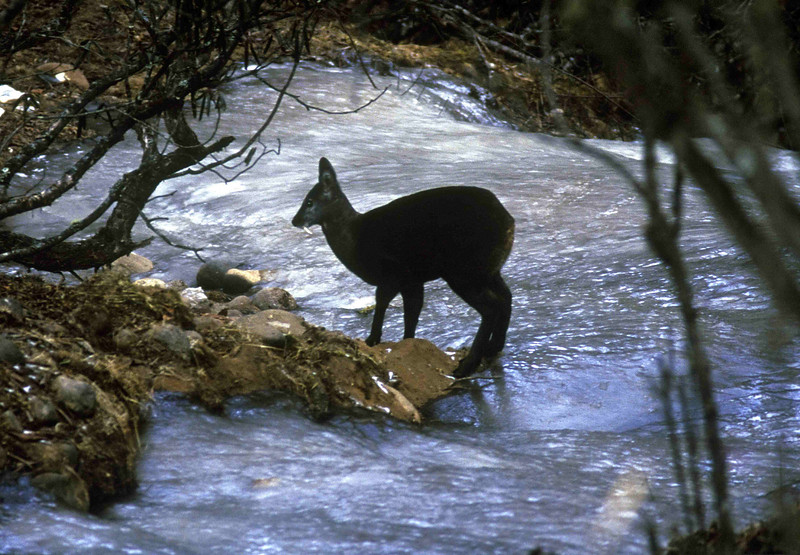 A musk deer searches for water in the snow - Thyangboche