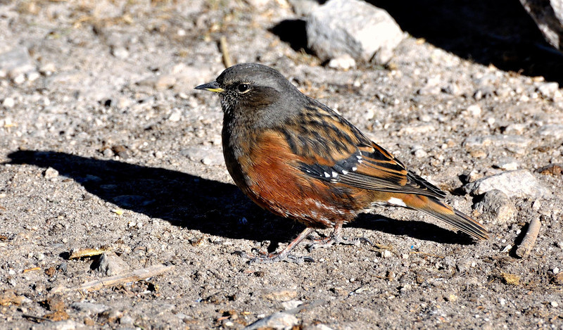 Alpine Accentor near Gorak Shep around 5000 metres