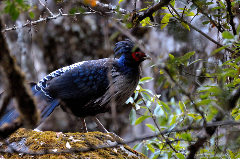 Kalij Pheasant near Lama Hotel on the Langtang Valley trek