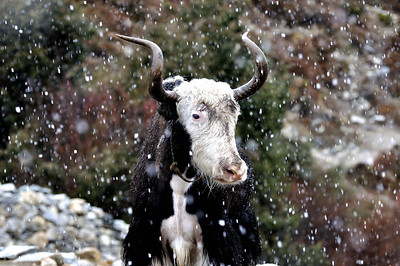 Yak in the snow, Lobuche